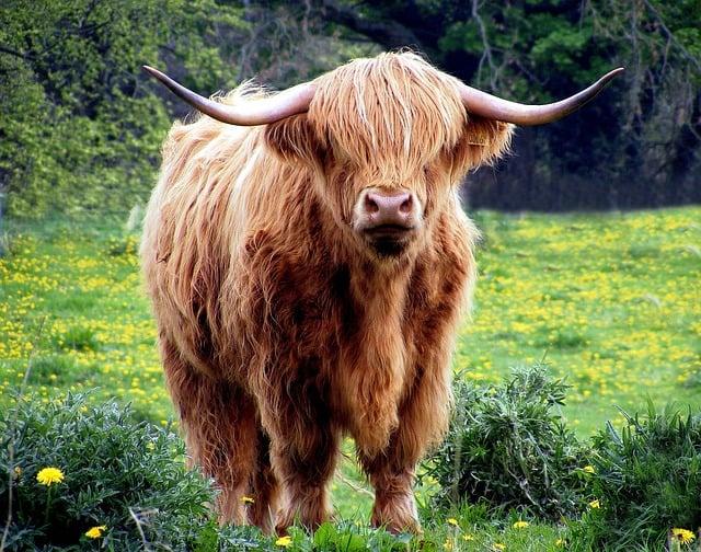 Scottish cattle breed - Solstice in Bonnie Scotland