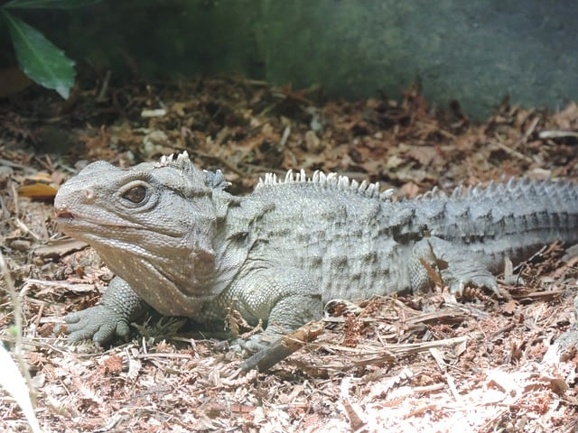 Tuatara at the Kiwi Birdlife Parkt - Family Vacations in Queenstown