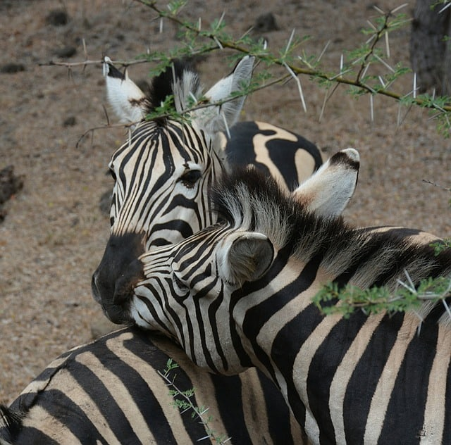 Zebra - Best Things to Do in Mauritius