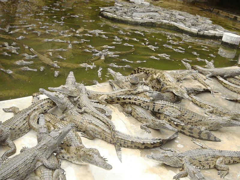 Crocodiles of Mamba Village - Best Things to Do in Mombasa