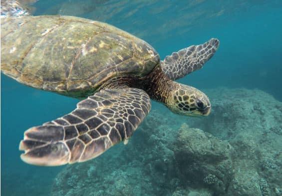 Tortoise, MacLeod Island, Myanmar