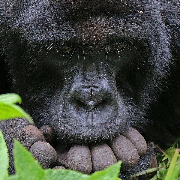 Gorilla - Top African Bucket List Experiences