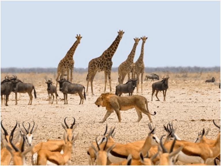 Giraffes and Wildebeest, Etosha National Wildlife Park, Namibia