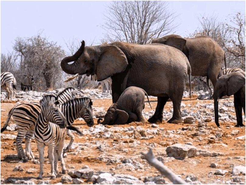 Elephants and Zebra, Etosha National Wildlife Park, Namibia