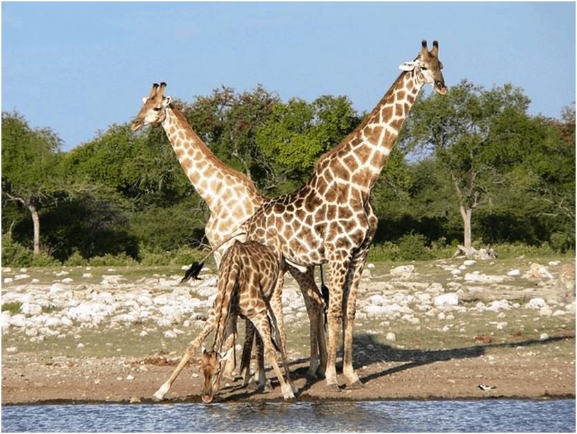 Giraffe at a Waterhole, Etosha National Wildlife Park, Namibia