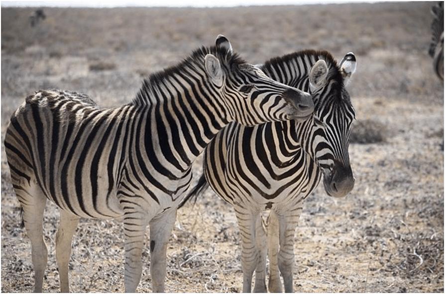 Zebra, Etosha National Wildlife Park, Namibia