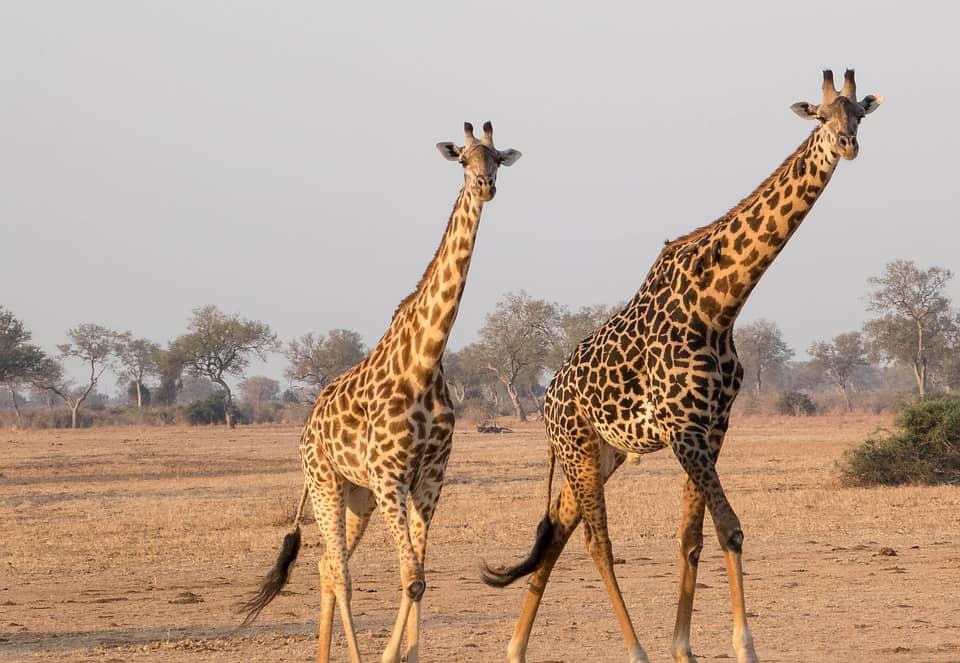 Girafe, Africa - Zambia
