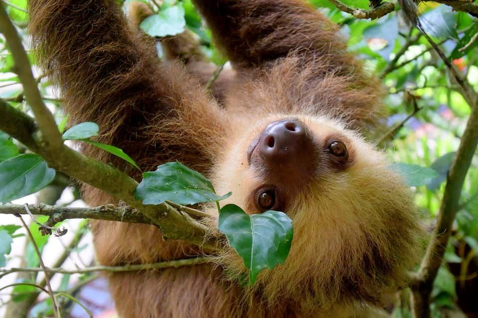 Sloths - Costa Rica and Panama in One Week