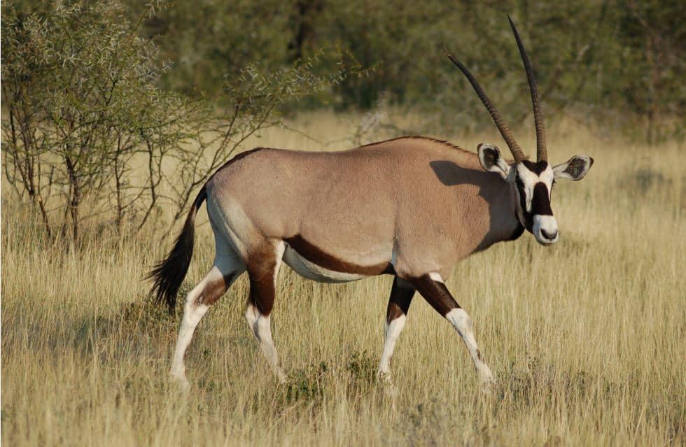 Orynx Gazella at Etosha National Park, Namibia