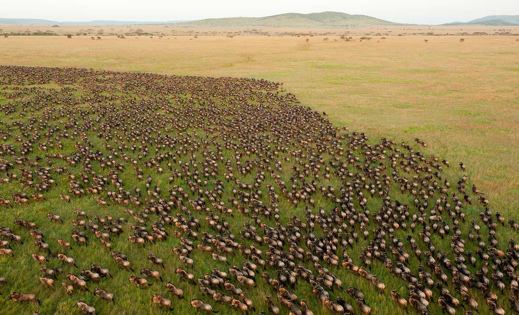 Great Wildebeest Migration in Africa