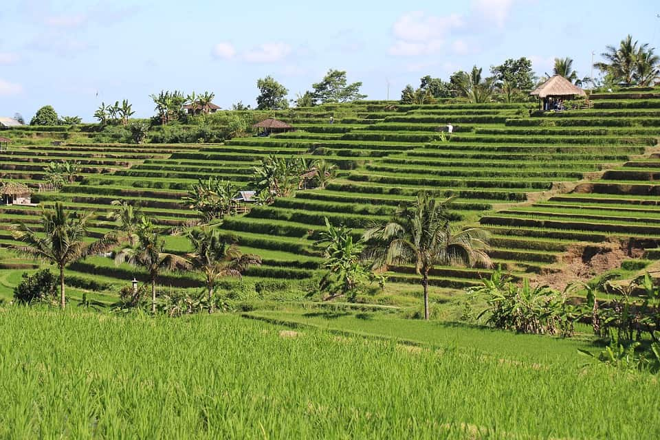 Rice Fields - Best Things to Do in Indonesia