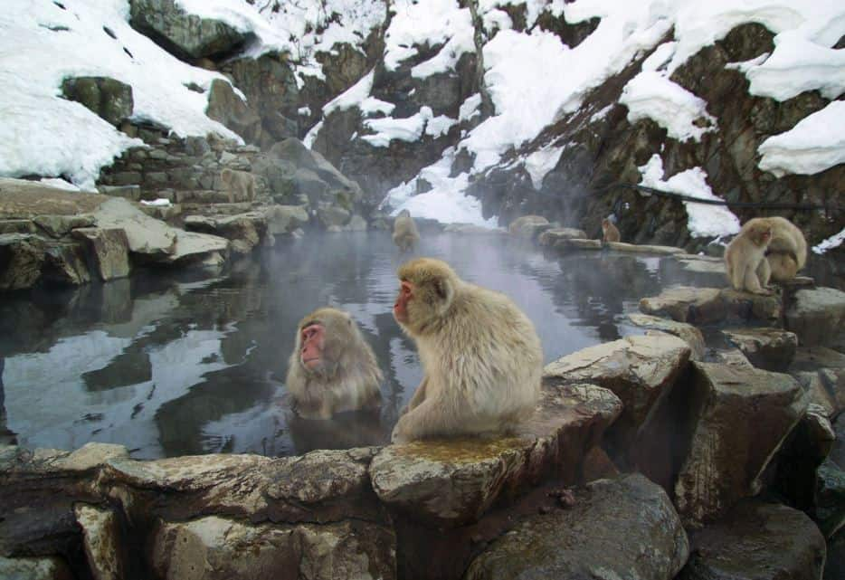 Jigokudani Monkey Park, Japan  - Bucket List Travel Ideas