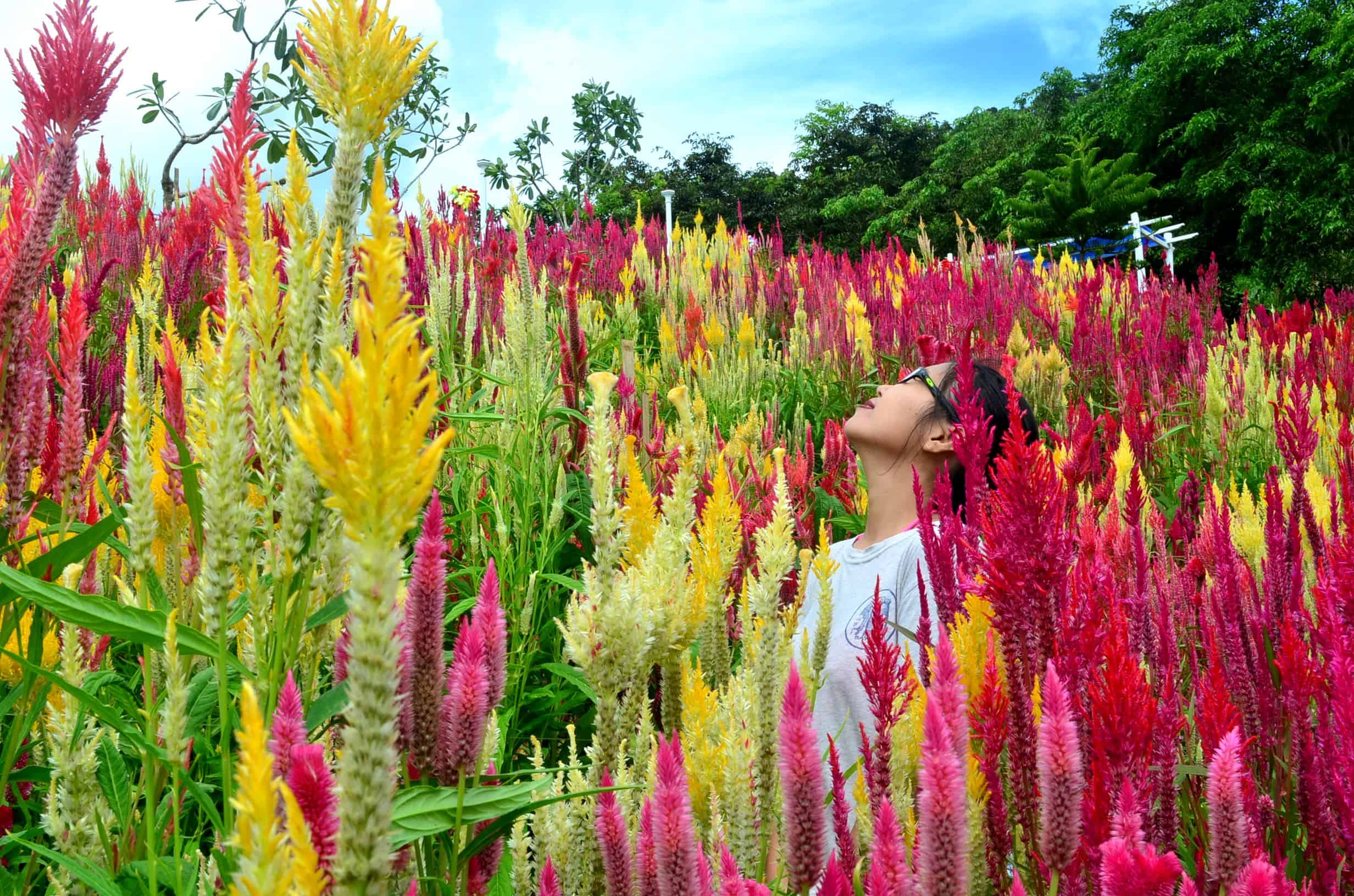 Sirao Flower Garden - Best Things To Do In Cebu, Philippines