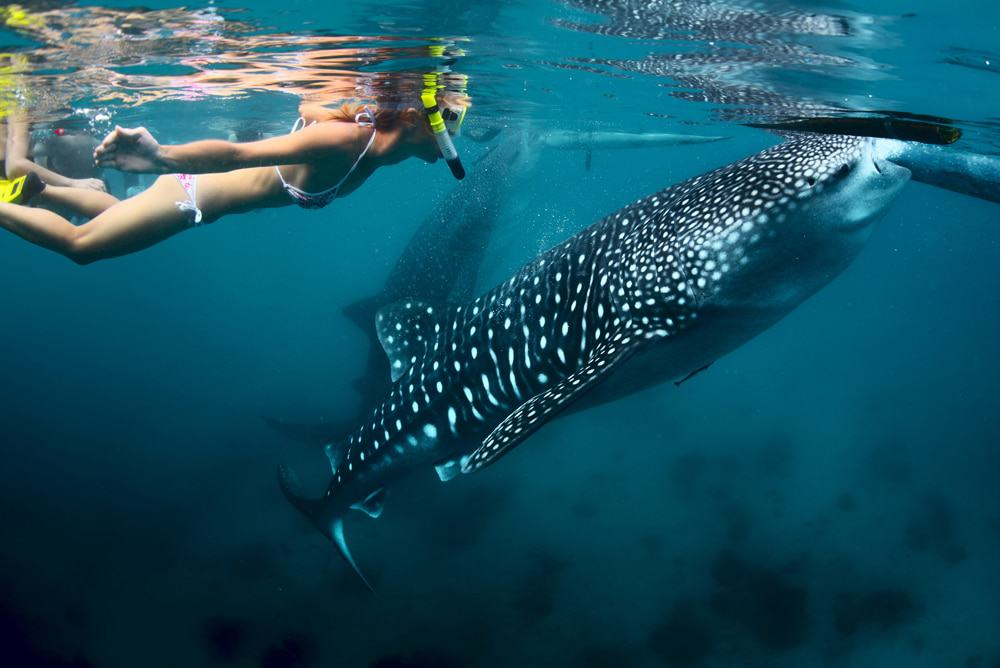 Swimming With the Shark - Best Things To Do In Cebu, Philippines