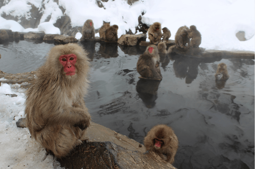 Jigokudani Monkey Park - Unique Places to Celebrate the Winter Holidays