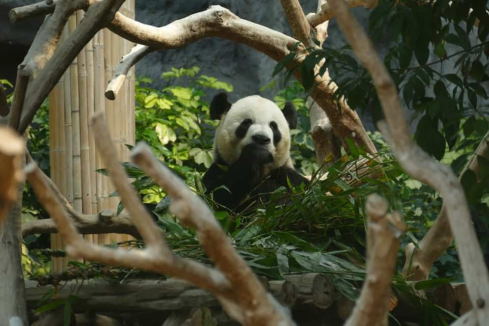Panda - Best Things to Do in Macau