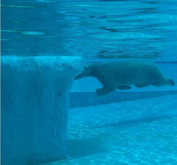 The playful Inuka takes a dip in the icy cold water