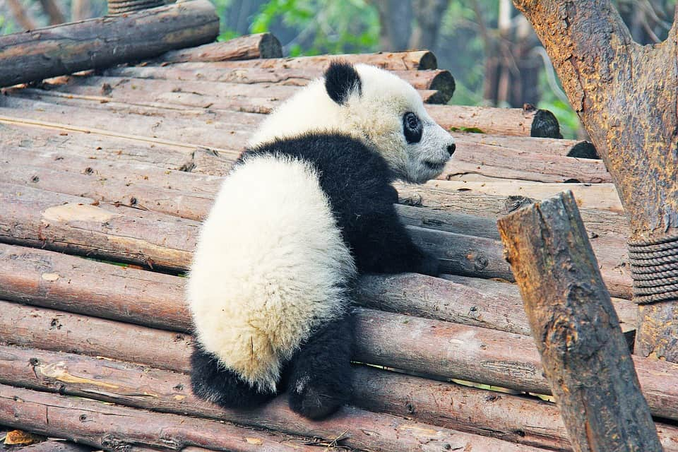 Panda in Chengdu, China