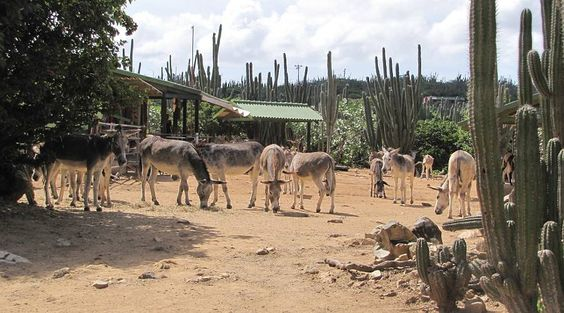 Donkey Sanctuary Aruba - Aruba With Kids