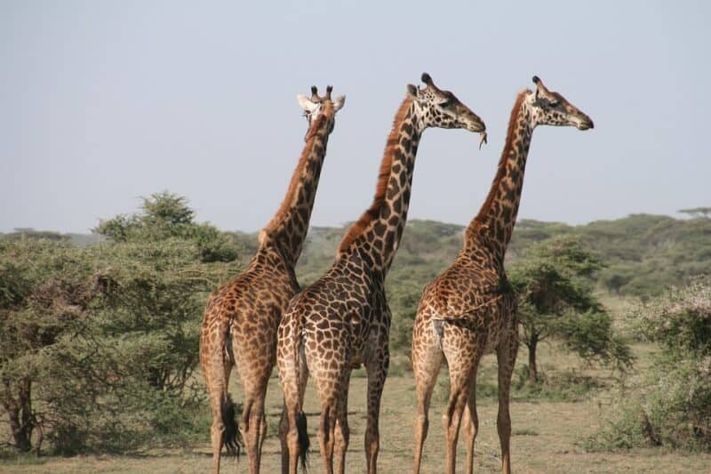Giraffes - Tanzania with Kids