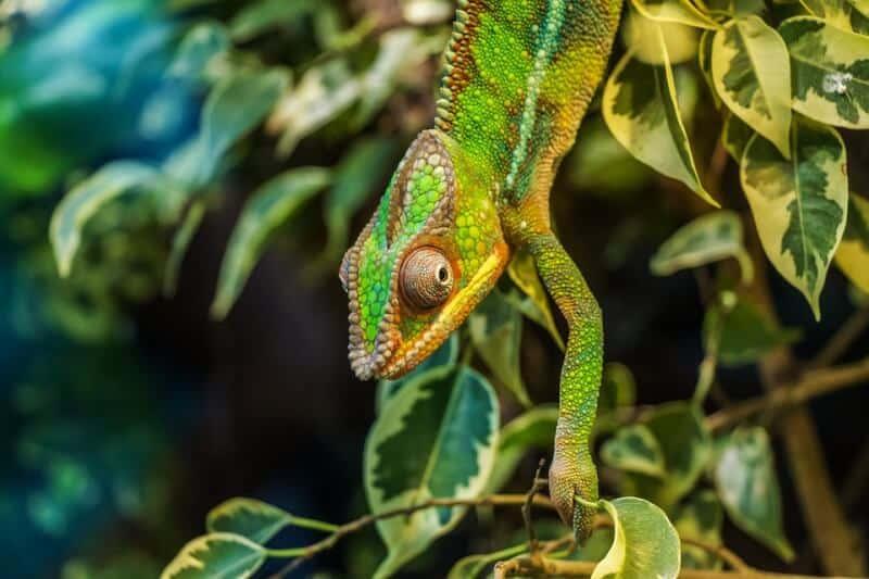 Chameleon - Madagascar with Kids