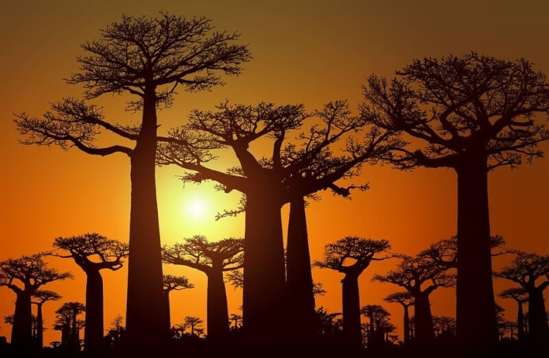 Avenue of the Baobabs - Madagascar with Kids