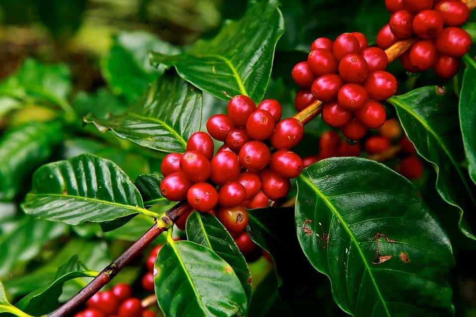 Coffee Plant - Best Things to do on a Cuban Vacation
