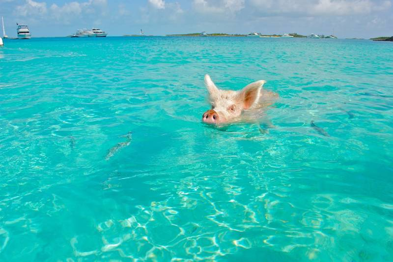 Swimming with Pigs - Bahamas for a short weekend Trip