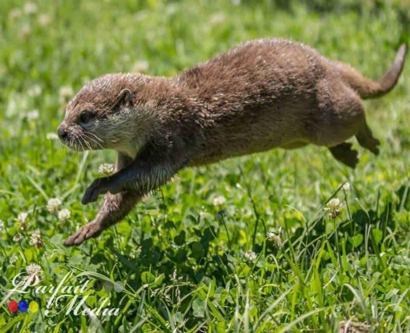 Otter encounters at Barn Hill Preserve