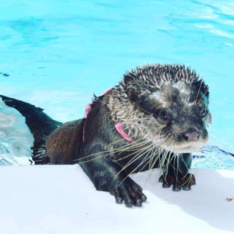 Otter encounters at Dade City's Wild Things Zoo