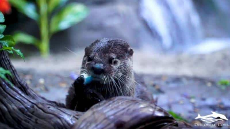 Otter encounters at Discovery Cove