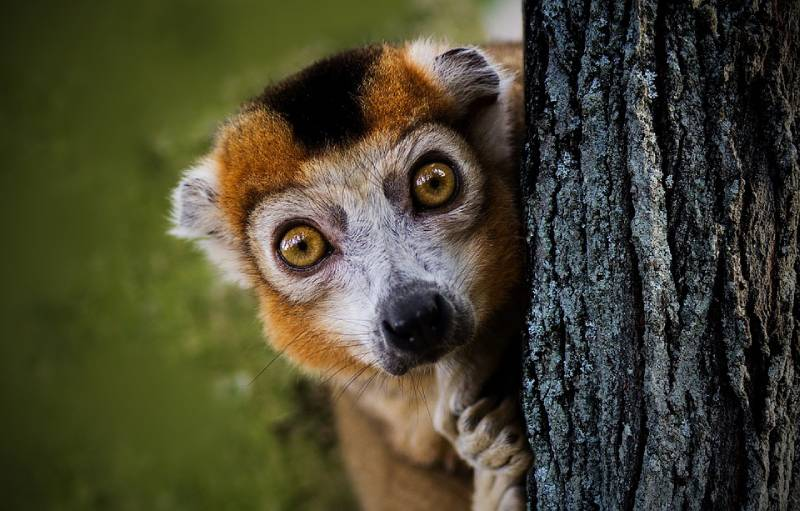 Lemur, Madagascar - Best African Countries