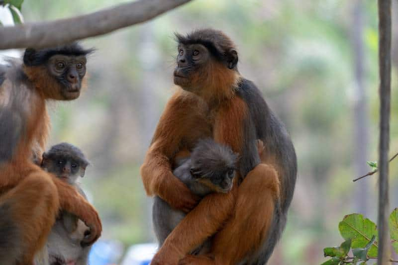 Monkeys, Gambian Wildlife