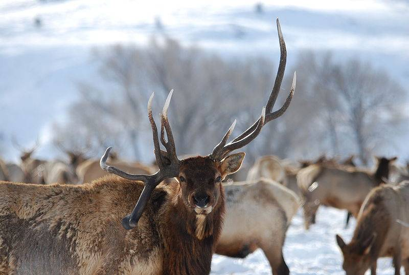 National Elk Refuge - Free Things to Do in Jackson Hole