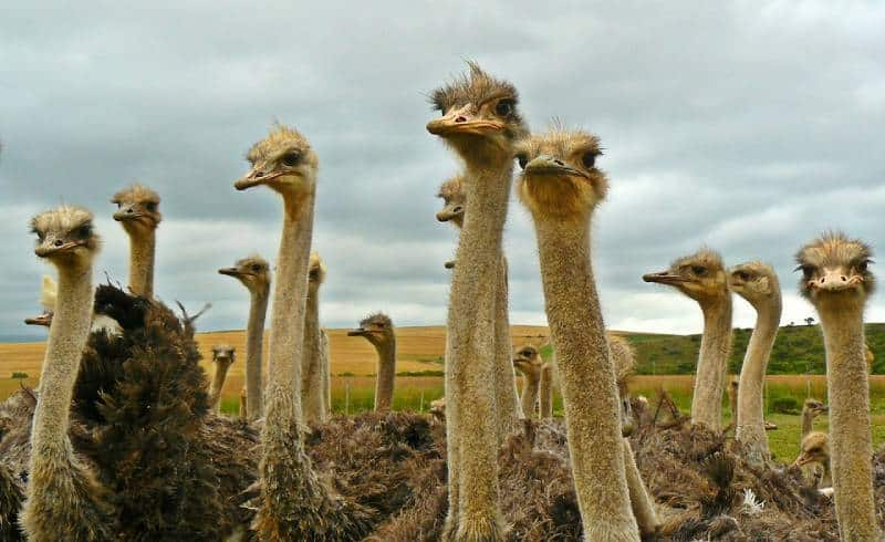 Ostriches - Curacao with Children