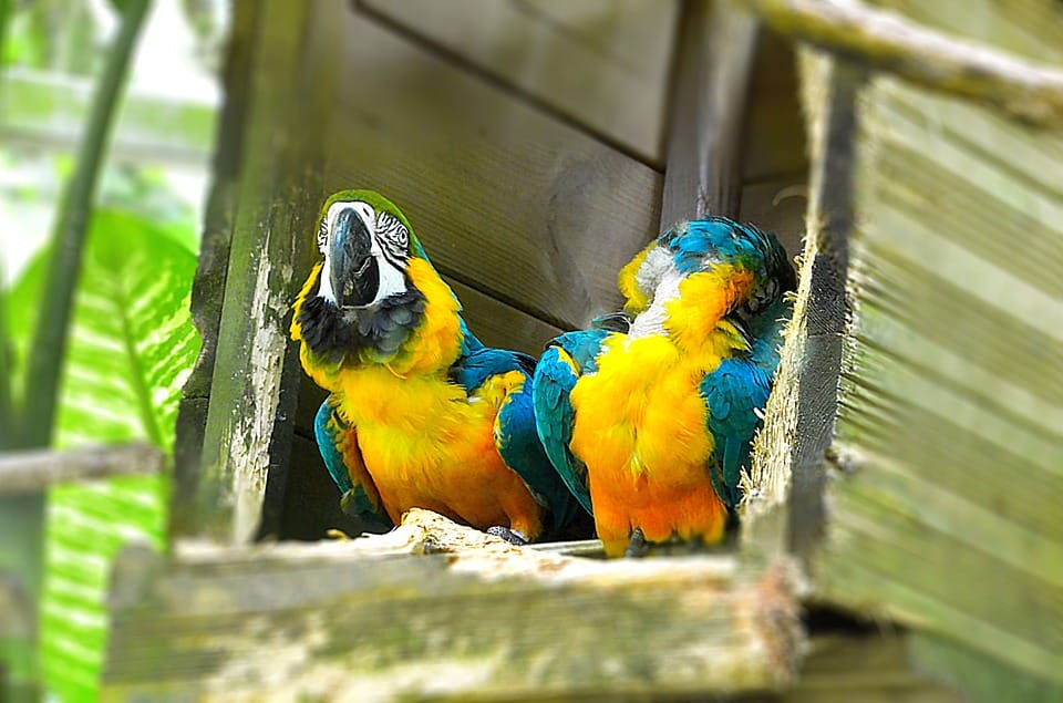 Parrot - Things to Do and See in Guadeloupe