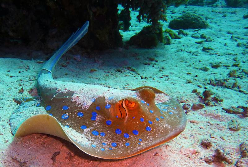 Stingray, Antigua and Barbuda