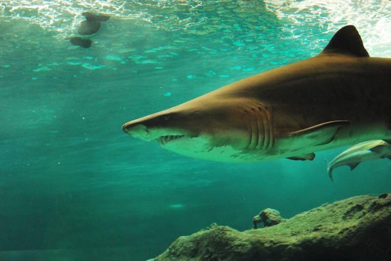 Shark - Visit Bimini Bahamas