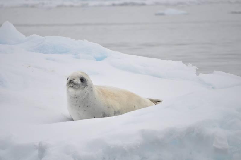 Antartica animal
