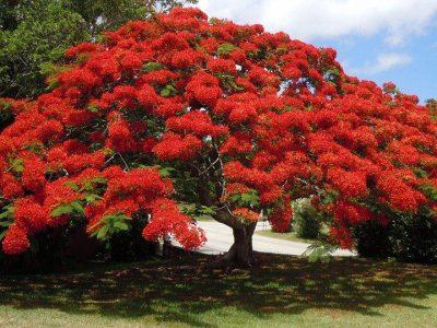 Bermuda flower tree