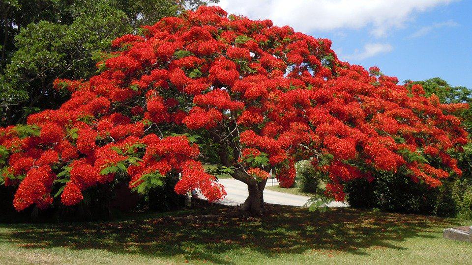 Bermuda flower tree