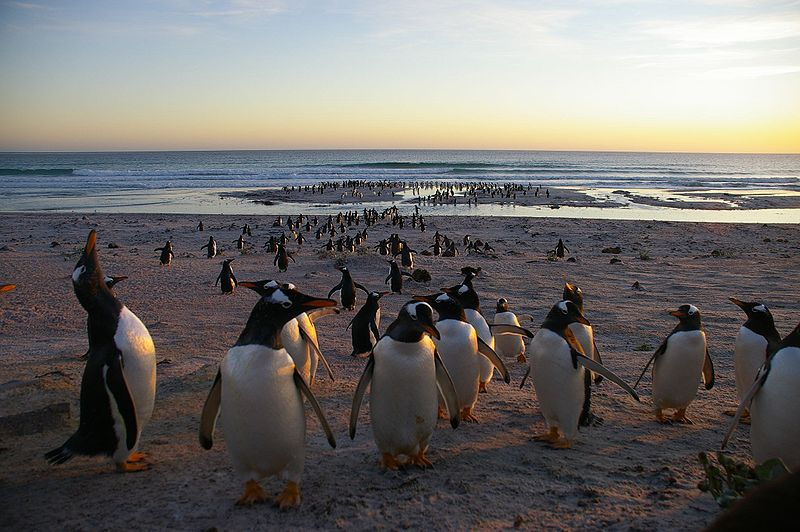 Falkland Islands - Swimming with Penguins
