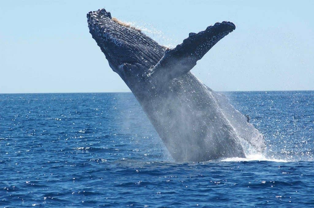 humpback whales - Visiting Tonga