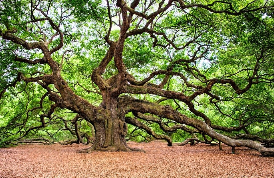 Angel Oak - Things to Do in Charleston, South Carolina