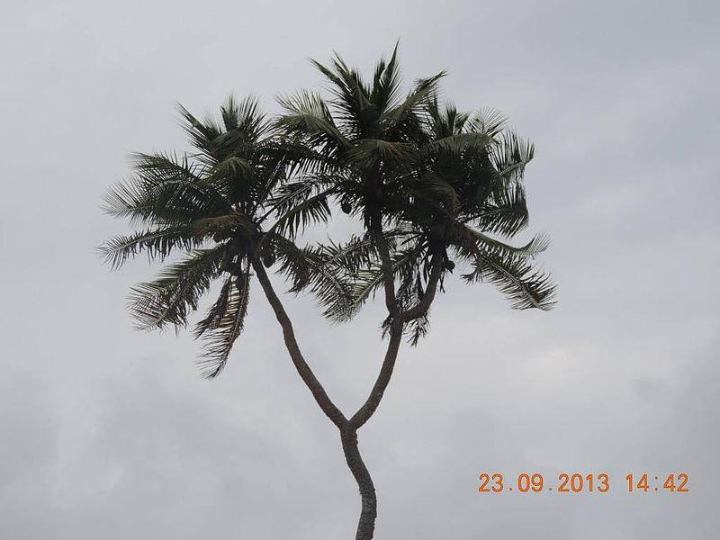 3 headed coconut tree