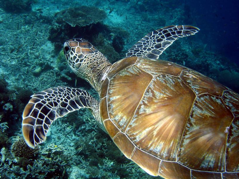 Turtle, scuba diving, Sipadan