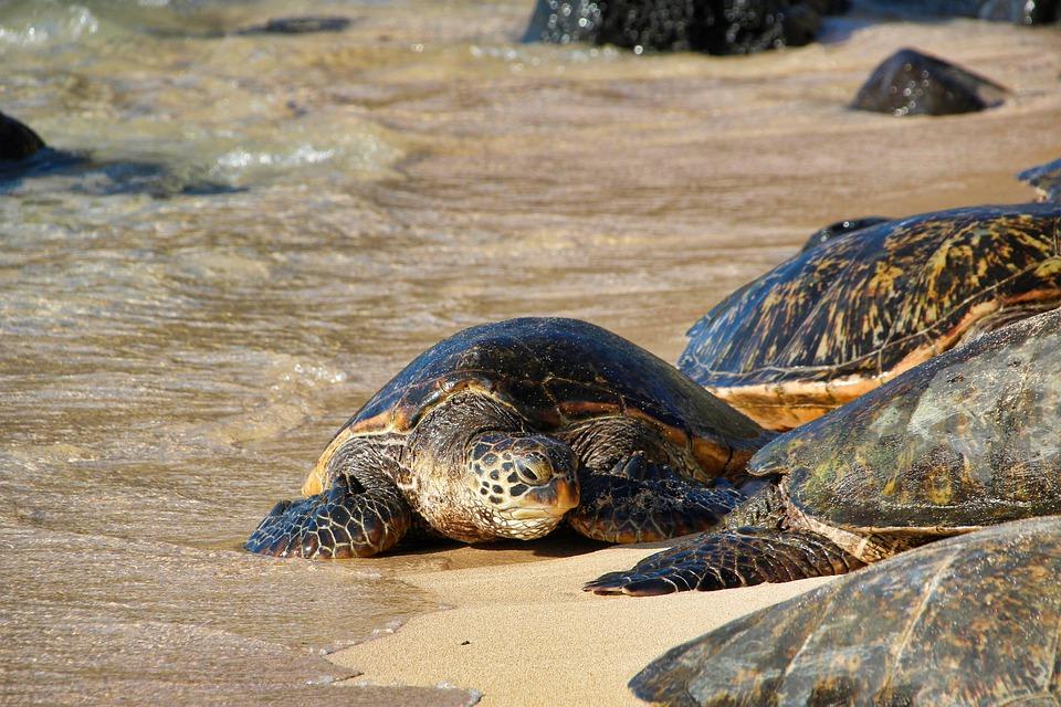 Maui Island, Hawaii, Swim and Snorkel with Sea Turtles